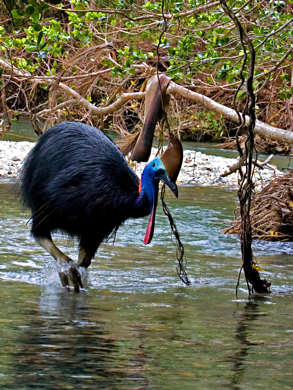 Cassowary Daintree...open edition