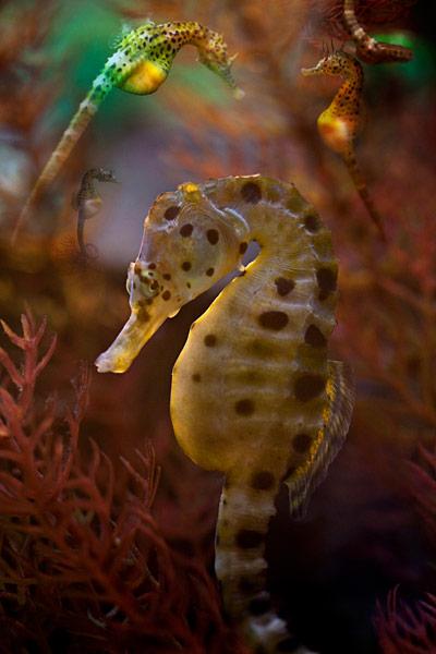 nf247. Seahorse Artcard