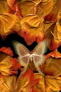nf33. African Tulip Artcard