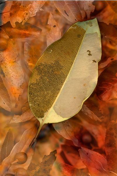nf82a. Yin Leaf Artcard