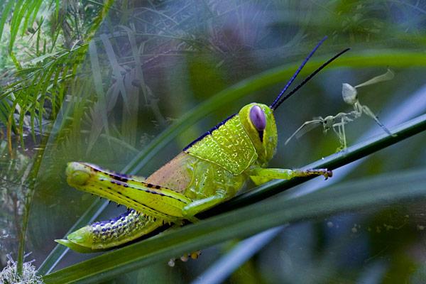 nf86a. Grasshopper  Ant Artcard