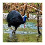 fp71. Cassowary Fabric Patch