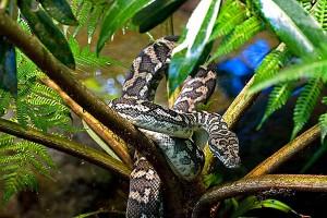 nf146a. Carpet Snake Artcard