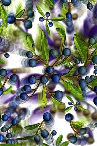 nf157. Blue Quandong Artcard