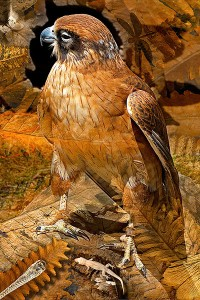 nf166. Brown Falcon Artcard