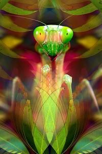 nf235. Praying Mantis Artcard