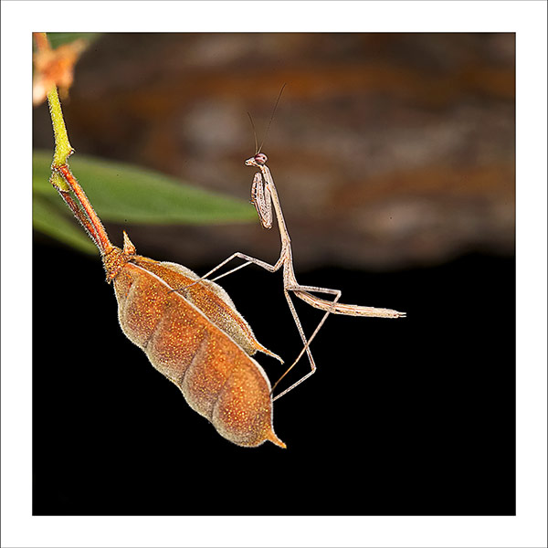fp187 Mantis Pod fabric patch