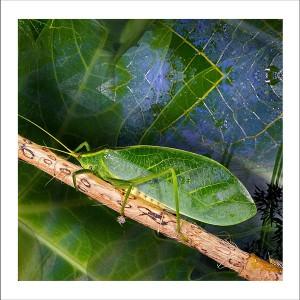fp192. Leafy Katydid fabric patch
