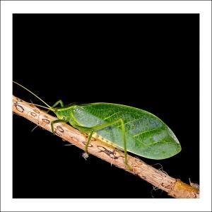 Leafy Katydid fabric patch