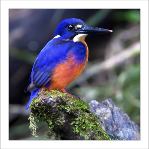 fp230. Azure Kingfisher fabric patch by Gerhard Hillmann