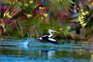 nf324c. Pelican Flight Artcard