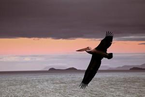 nf350b. Pelican Flight Artcard