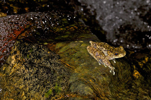 Waterfall frog (Litoria nannotis) photo by Gerhard Hillmann
