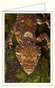 nf393_leaf_tailed_gecko_wo