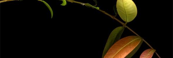 New Growth…wilsonii subsp. wilsonii