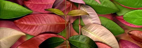 Wilsonii wilsonii sp…New Growth…Artcard