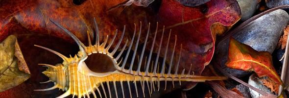 Venus Comb Murex Shell…new artcard