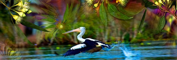 Pelican Tune…new artcard