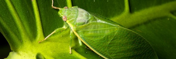 Green Cicada…new artcard