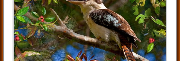After the Laugh..Kookaburra..limited edition