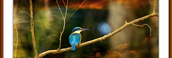 Sacred Kingfisher…limited edition