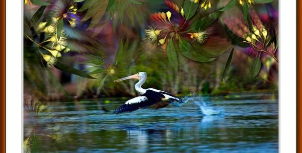 Pelican Flight…limited edition artwork