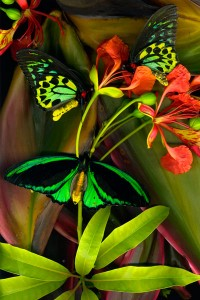 nf122. Three Birdwings Artcard