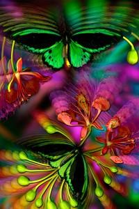 nf123. Birdwing Poinciana Artcard