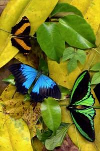 nf128. butterflies Artcard