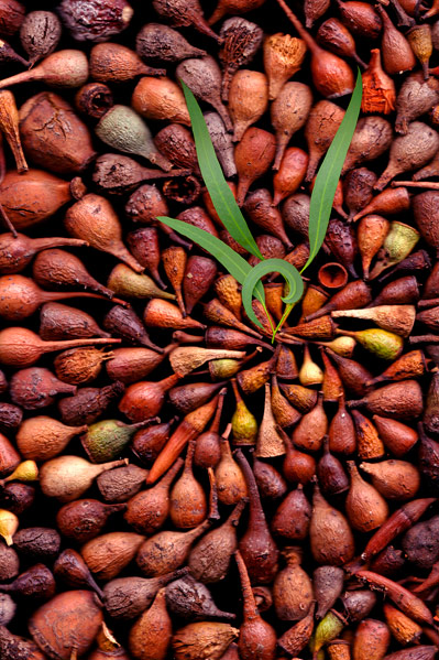 nf65a. Gumnuts Artcard