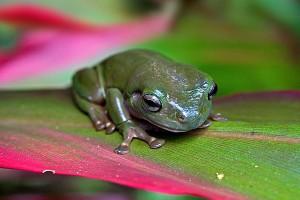 nf162. Common Greenfrog Artcard