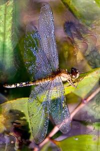 nf173. Dragonfly Artcard