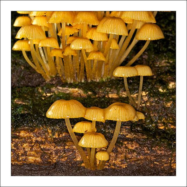 fp92. Malanda Mushrooms fabric patch by Gerhard Hillmann
