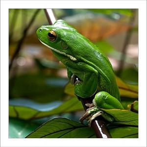 fp121. Big Whitelip Green Treefrog fabric patch