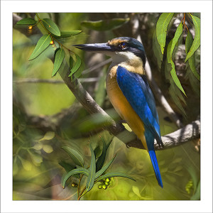 fp222. Sacred kingfisher cotton fabric patch by Gerhard Hillmann