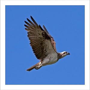 fp186. Sea eagle fabric patch