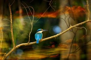 nf342a. Sacred Kingfisher Artcard