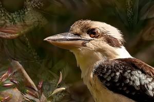 nf345a. Kookaburra artcard
