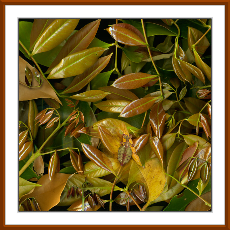 Phyllium Leaves limited edition by Gerhard Hillmann