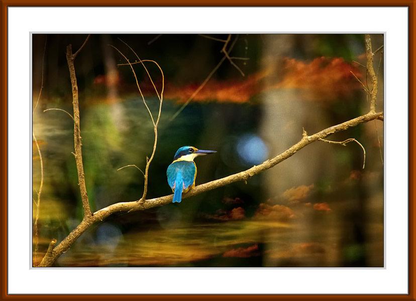 Sacred Kingfisher, archival print by Gerhard Hillmann