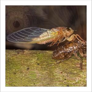 fp242. Cicada Emerging fabric patch by Gerhard Hillmann
